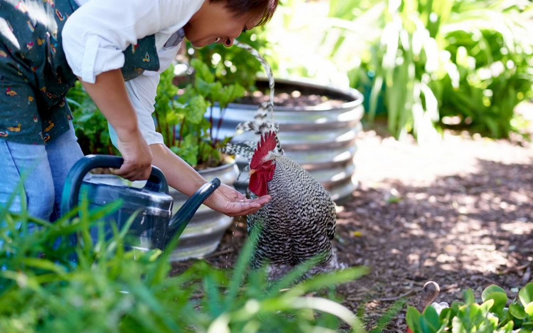 Should You Get Backyard Chickens?